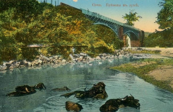 Буйволы в луже Сочи 1900-е