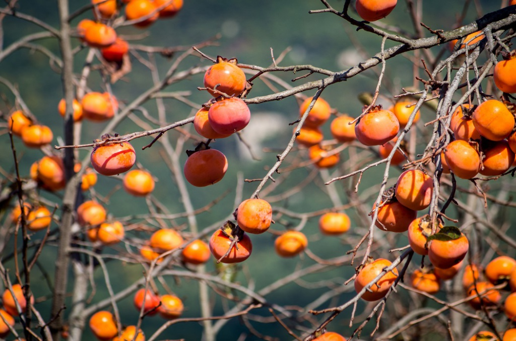 фото хурма дерево сочи есть интерпретация, что